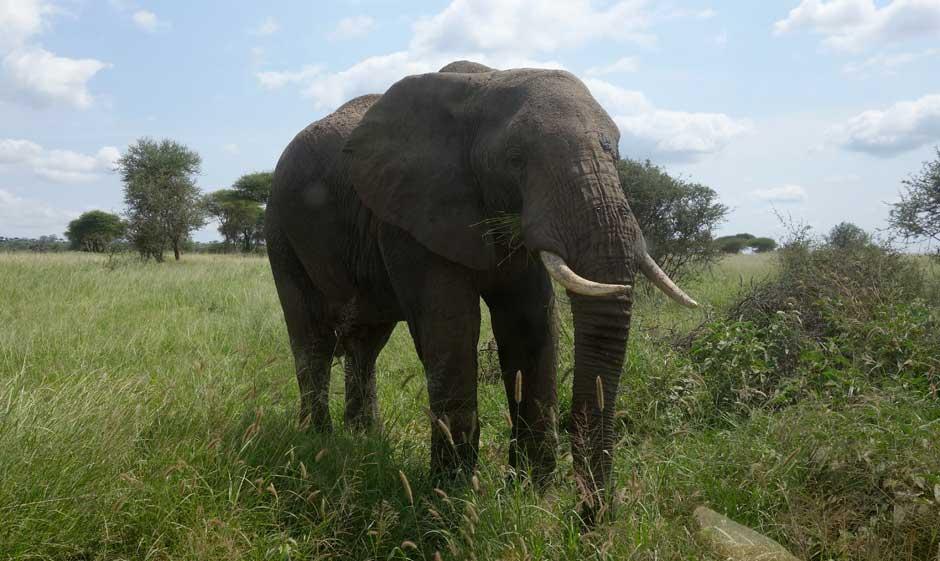 Elefant im Tarangire Nationalpark