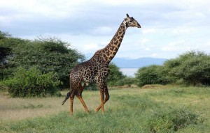 Giraffe im Lake Manyara Nationalpark