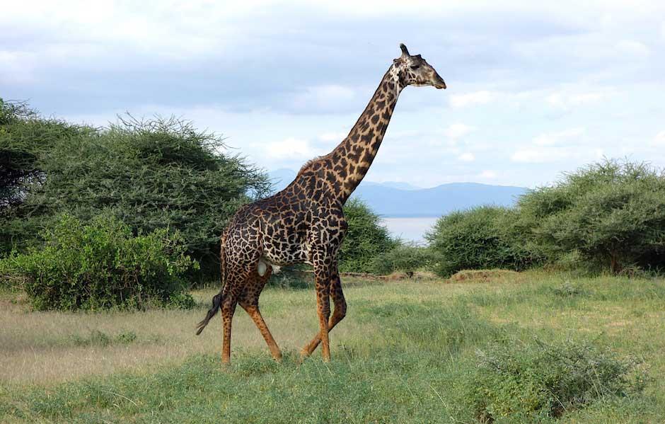 Giraffe im Lake Manyara Nationalpark