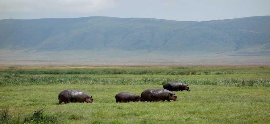 Nilpferde im Ngorongoro Krater