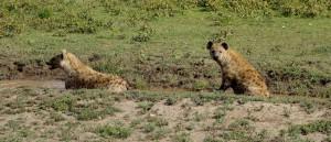 Hyänen in der Serengeti