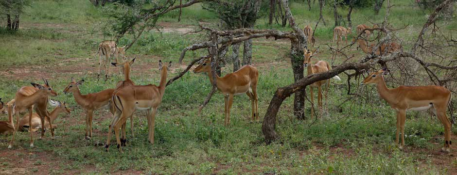 Impalas in der Serengeti