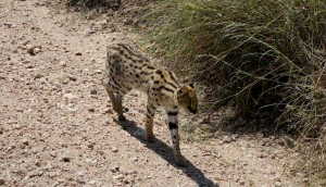Serval in der Serengeti
