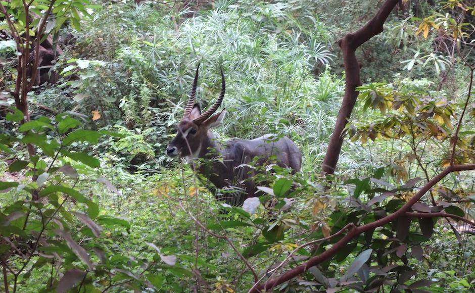 Wasserbock im Lake Manyara Nationalpark