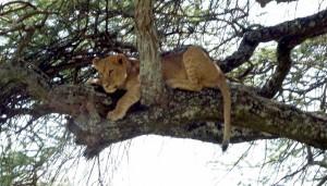 Löwe in der Serengeti