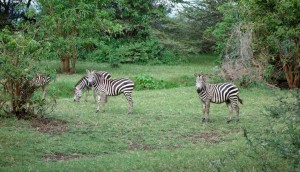 Zebras im Lake Manyara Nationalpark