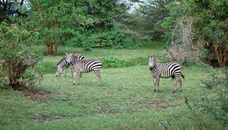 Zebras im Lake Manyara Nationalpark