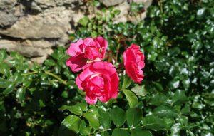 Rosen im Garten des Adenauer-Hauses