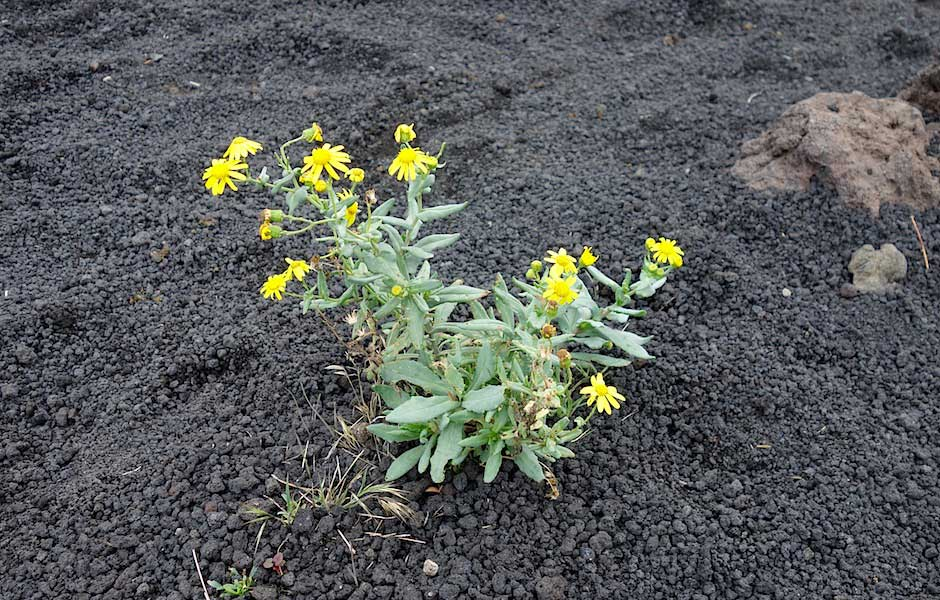 Eine Blume in der Vulkanasche